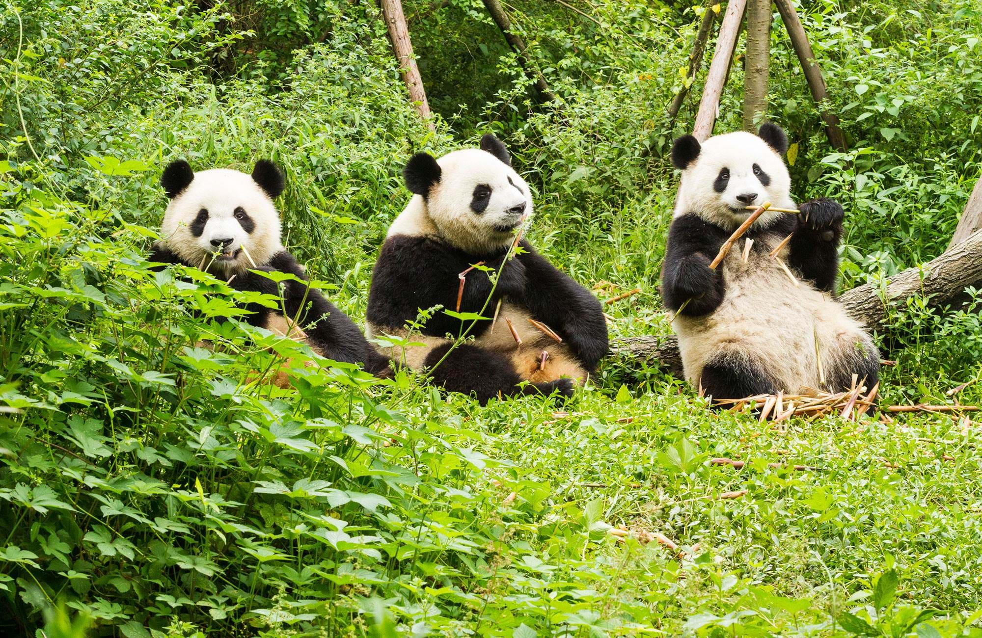 chengdu-china-giant-panda-cover