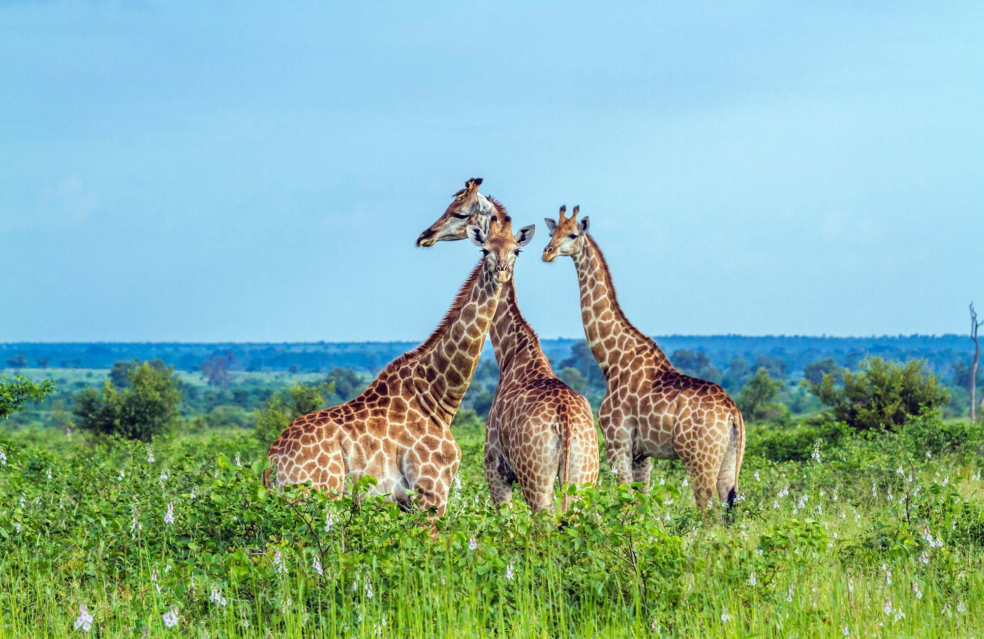 kruger-national-park-giraffes-amid-greenery-cover